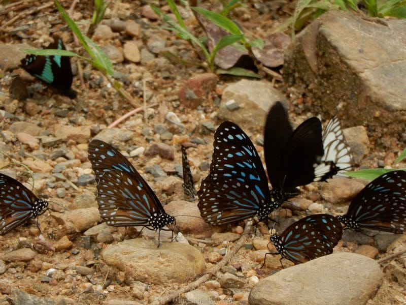 Blue Glassy Tiger Butterflies
