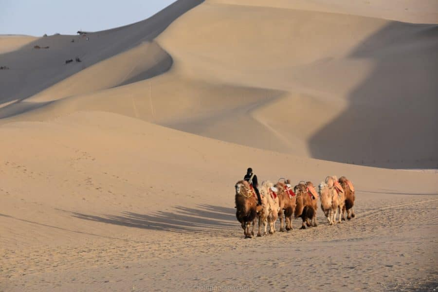 Camels, Dunhuang