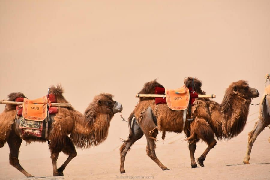 Camels at Dunhuang