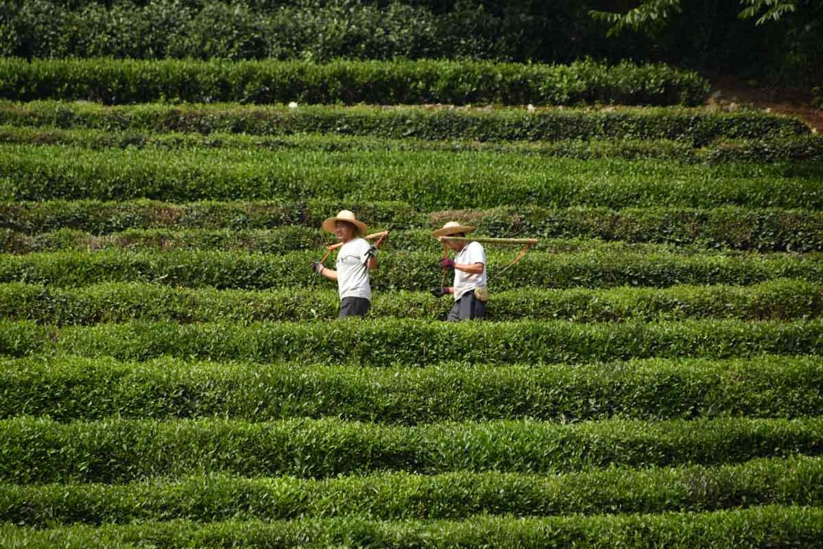 Longjing Tea Plantation