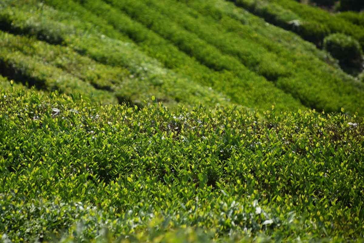 Dragon Well Tea, Longjing
