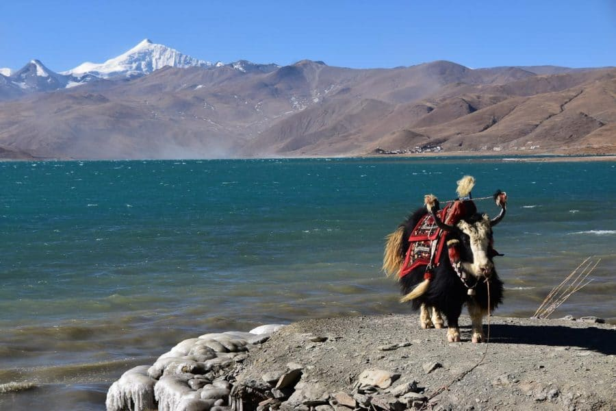 Yak at Yamdrok Lake
